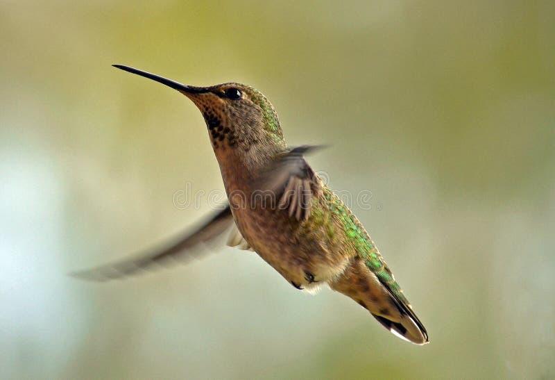 Weiblicher Annas Kolibri stockfotografie