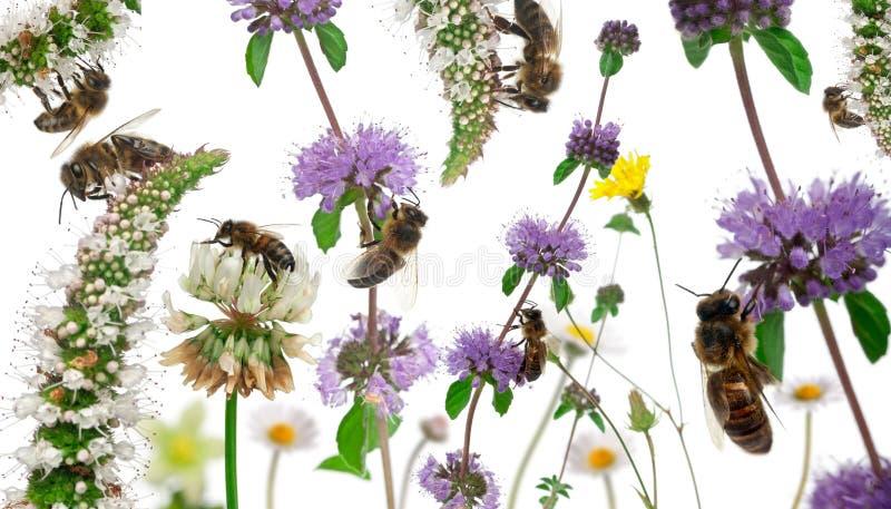 Weiblicher Arbeitskraftbienenaufbau lizenzfreies stockbild