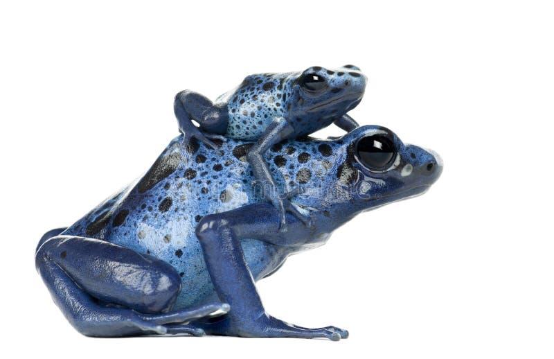 Weiblicher blauer und schwarzer Gift-Pfeil-Frosch mit Jungen lizenzfreie stockfotografie