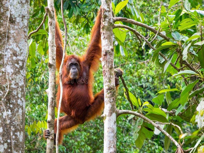 Weiblicher Borneo-Orang-Utan am Semenggoh-Naturreservat, Kuching lizenzfreie stockfotografie