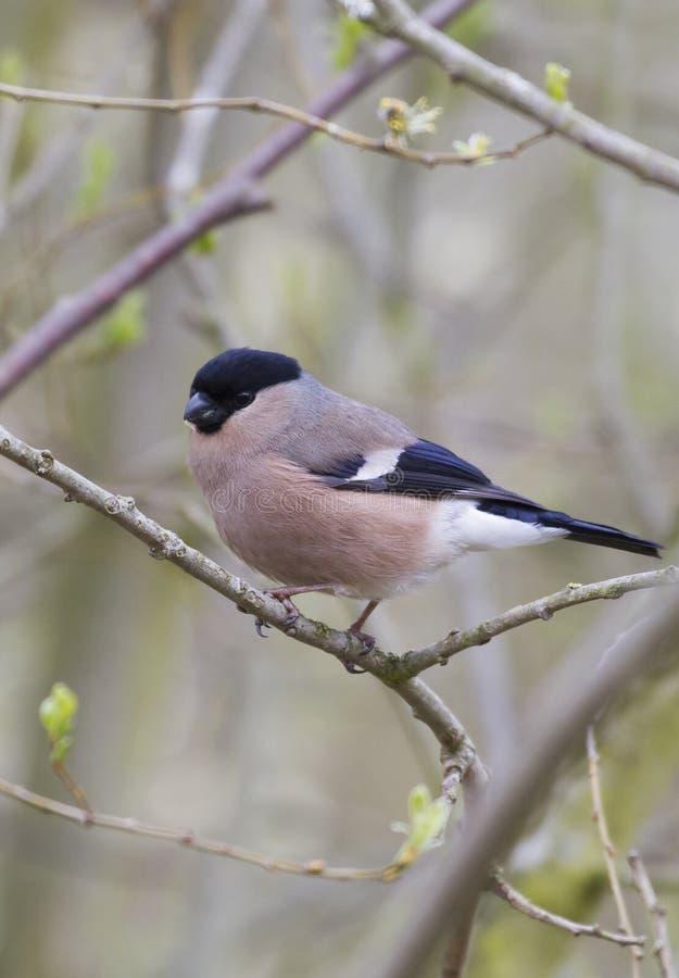 Download Weiblicher Bullfinch (Pyrrhula-Pyrrhula) Stockbild - Bild von europa, klein: 26363181