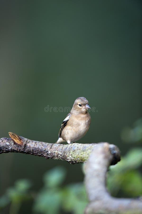 Weiblicher Chaffinch (Fringilla coelebs) lizenzfreies stockbild