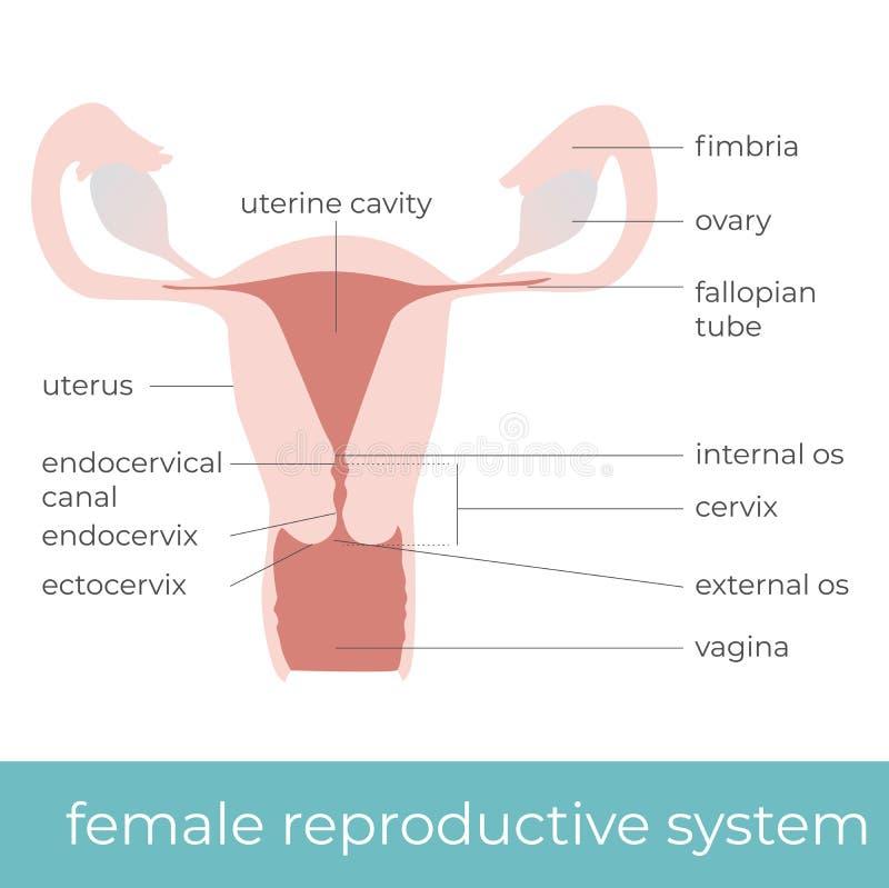 Berühmt Weibliche Fortpflanzungssystem Anatomie Diagramm Bilder ...