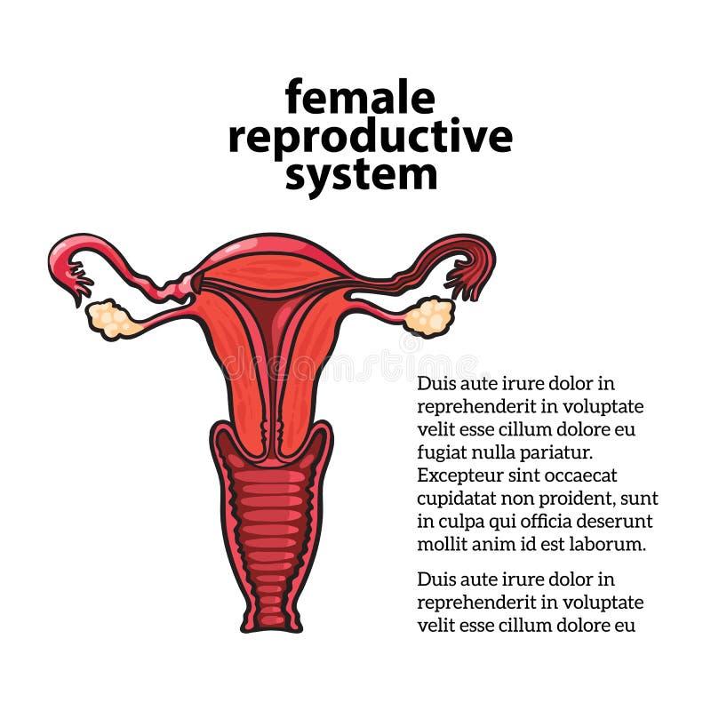 Weiblicher Fortpflanzungszyklus Vektor Abbildung - Illustration von ...