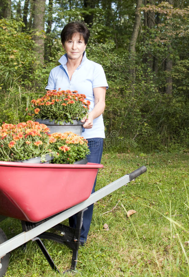 Weiblicher Gärtner, der Chrysanthemeblume pflanzt stockfotos