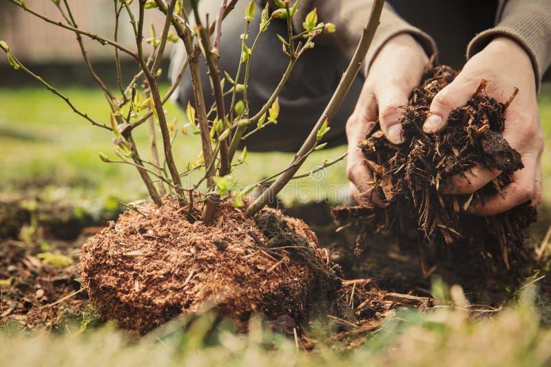 Weiblicher Gärtner, der einen Blaubeerbusch pflanzt lizenzfreie stockfotos