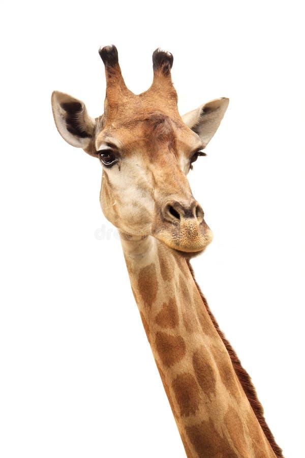 weiblicher Giraffekopf und -stutzen getrennt auf Weiß stockfotos