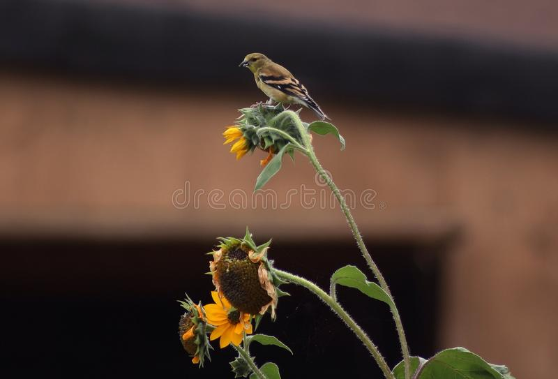 Weiblicher Goldfinch stockfotografie