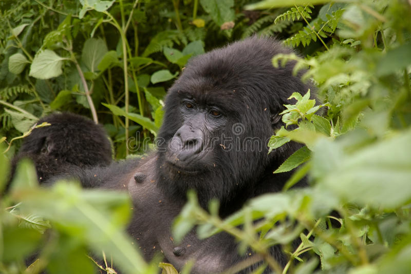 Weiblicher Gorilla in Ruanda stockbilder