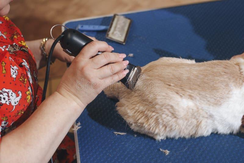 Weiblicher Groomerhaarschnitt-Yorkshire-Terrier auf dem Tisch für das Pflegen im Schönheitssalon für Hunde Prozess des Schlusses stockfotos