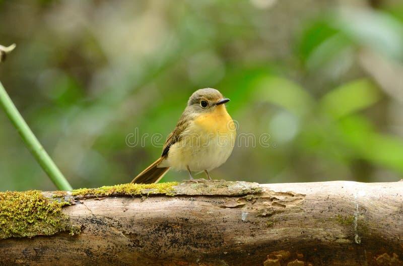 Weiblicher Hügelblau Flycatcher stockfotografie