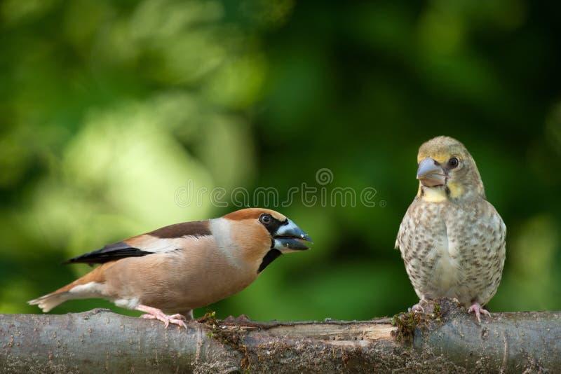 Weiblicher Hawfinch von den Jungen stockbilder