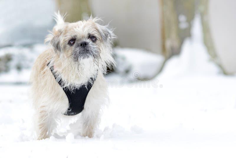 Weiblicher Hund der weißen Mischzucht mit magerem Pelz und schwarze Geschirrstellung im Schnee stockfotografie