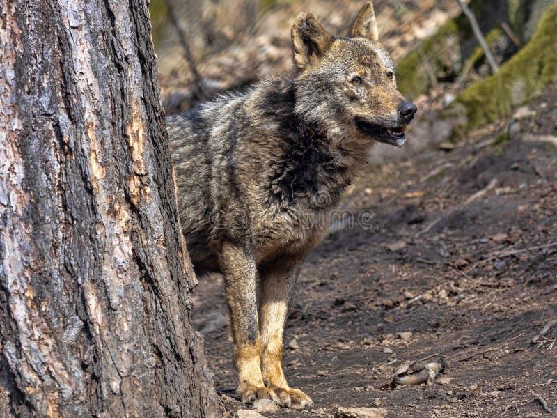 Weiblicher iberischer Wolf, Canis Lupus signatus, beobachtet die Umgebungen stockfotografie