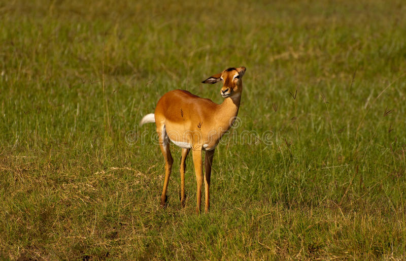 Weiblicher Impala lizenzfreies stockfoto
