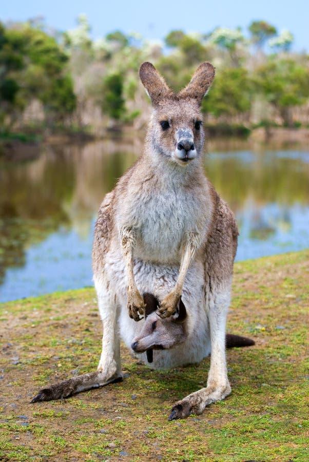 Weiblicher Känguru mit einem joey in ihr stockfotografie
