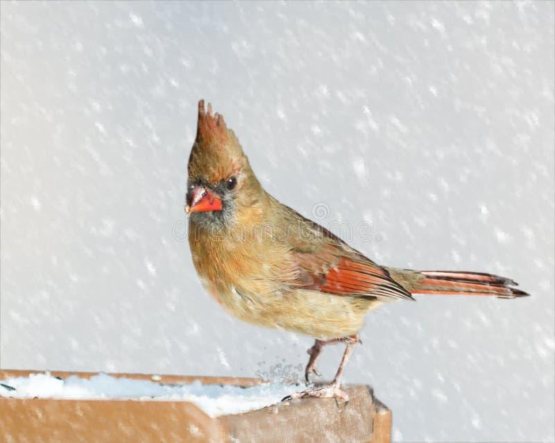 Weiblicher Kardinal lizenzfreies stockbild