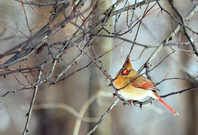 Weiblicher Kardinal stockbilder