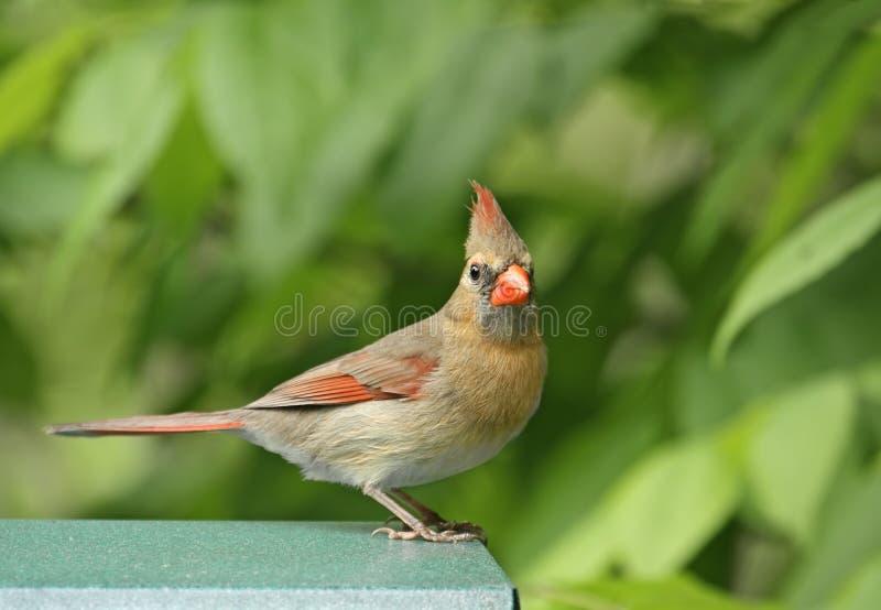 Weiblicher Kardinal lizenzfreie stockfotos