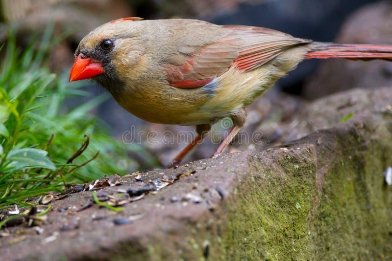 Weiblicher Kardinal auf Steinwand lizenzfreie stockfotos