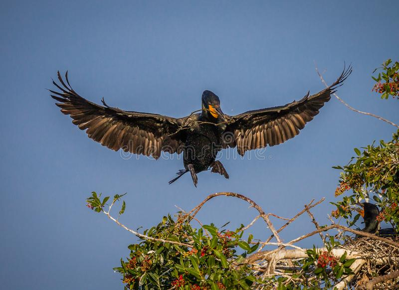 Weiblicher Kormoran fliegt herein mit Nestmaterial lizenzfreies stockbild