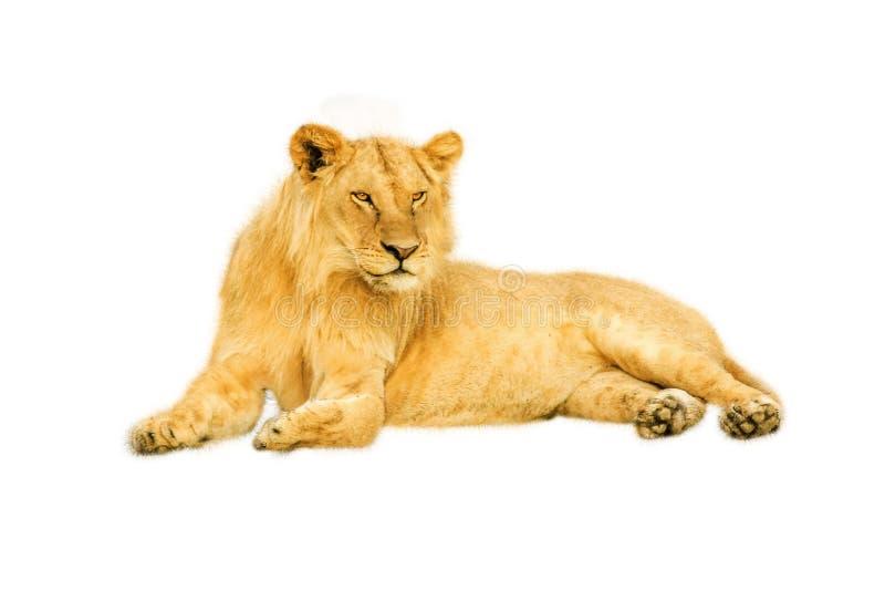 Weiblicher Löwe lokalisiert stockfotografie