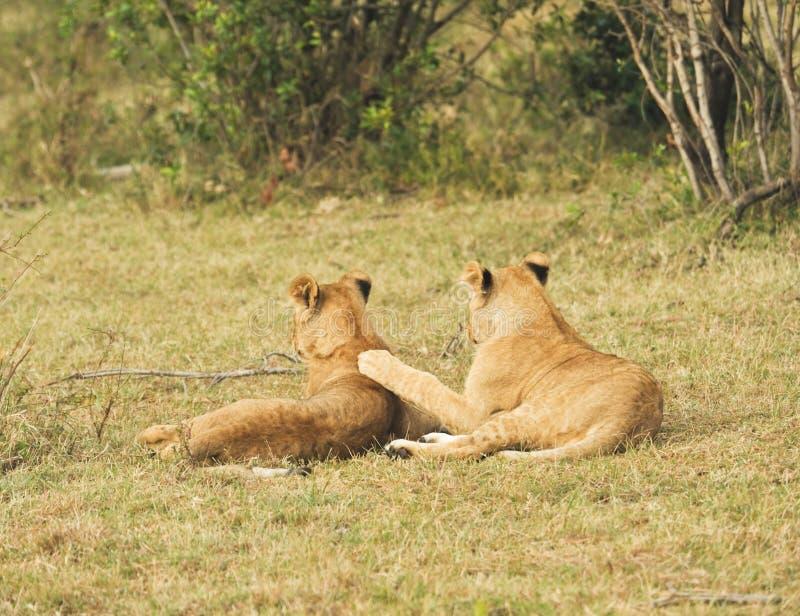 Weiblicher Löwe, Masai Mara, Kenia stockbild