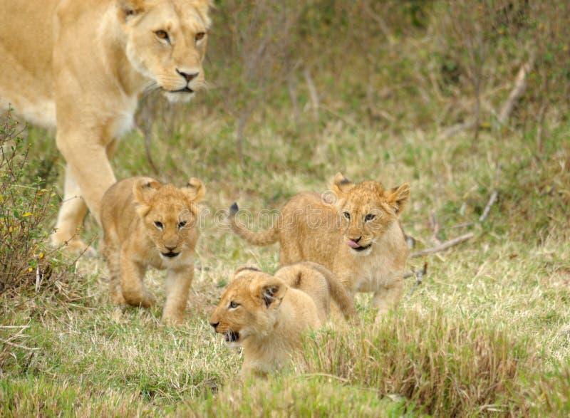 Weiblicher Löwe und Schätzchen, MASAI MARA stockfotos