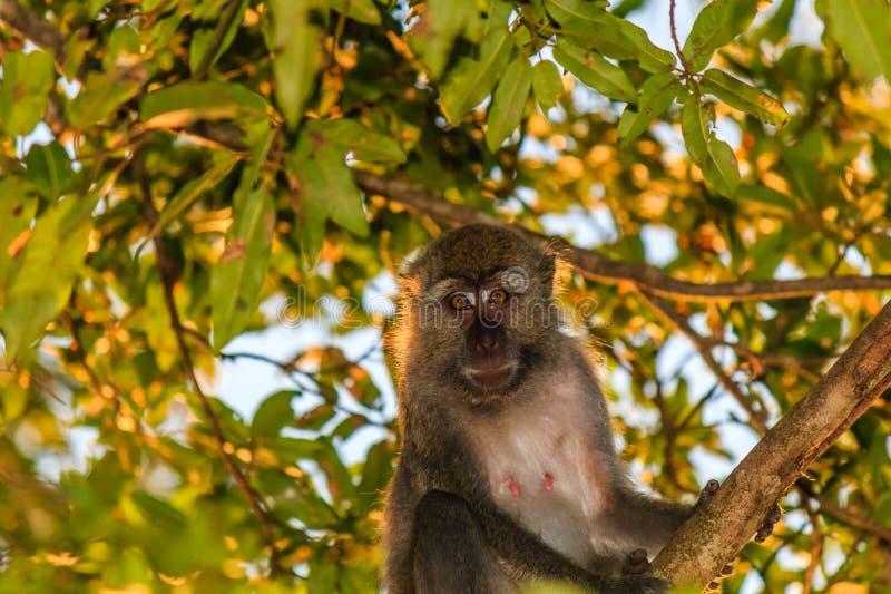 Weiblicher langschwänziger Makaken in einem Baum stockfotografie