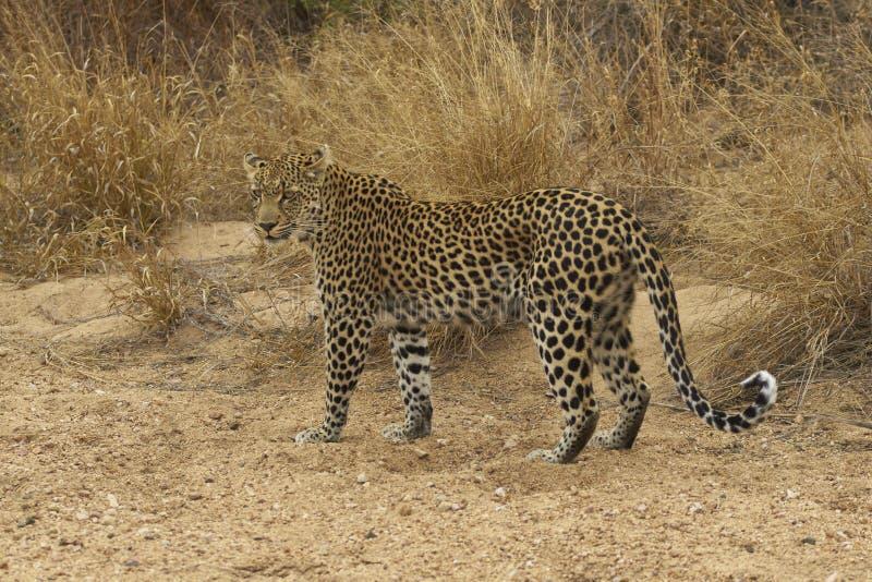 Weiblicher Leopard stockfotos