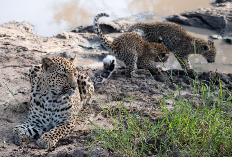 Weiblicher Leopard mit ihren jungen Jungen an einem waterhole in Sabi Sands Game Reserve, Kruger, Mpumalanga, S?dafrika stockbilder