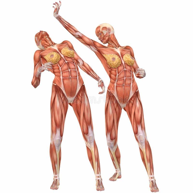 Wunderbar Diagramm Des Weiblichen Körpers Anatomie Ideen ...