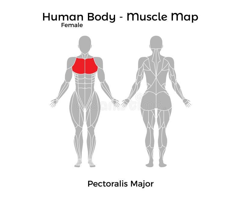Großzügig Bild Der Anatomie Des Weiblichen Menschlichen Körpers ...