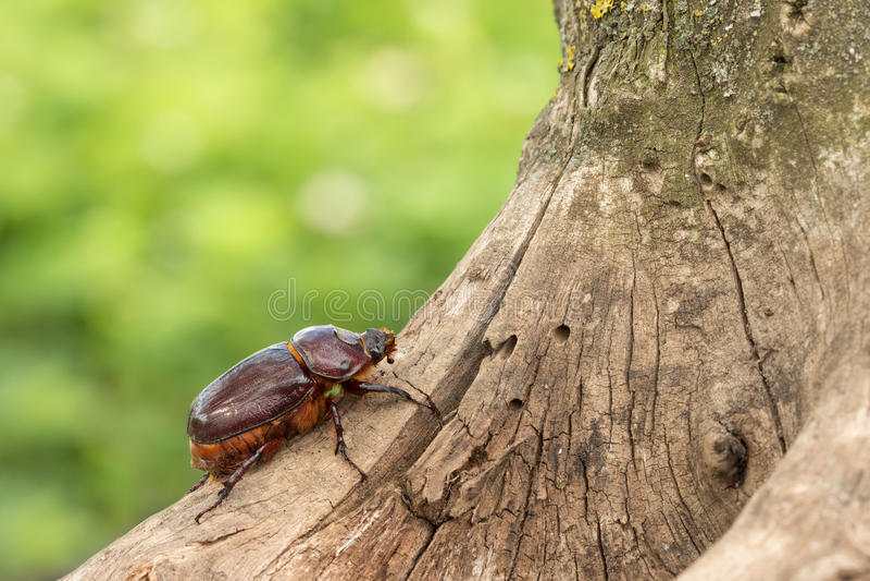 Weiblicher Nashornkäfer, der herauf den Baum kriecht stockfoto