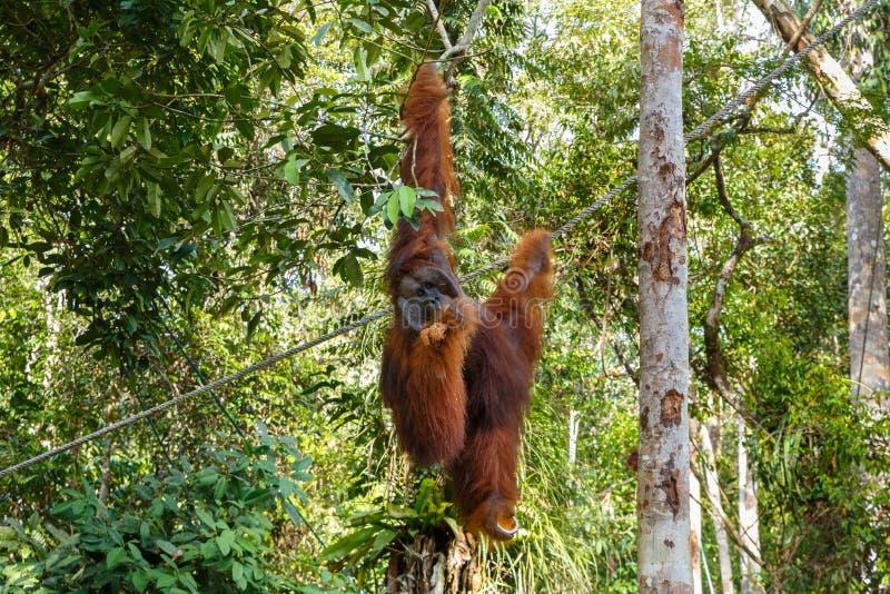 Weiblicher Orang-Utan hängt an einer Niederlassung stockbilder