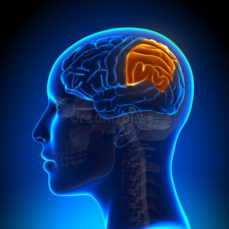Weiblicher Parietaler Vorsprung - Anatomie-Gehirn Stock Abbildung ...