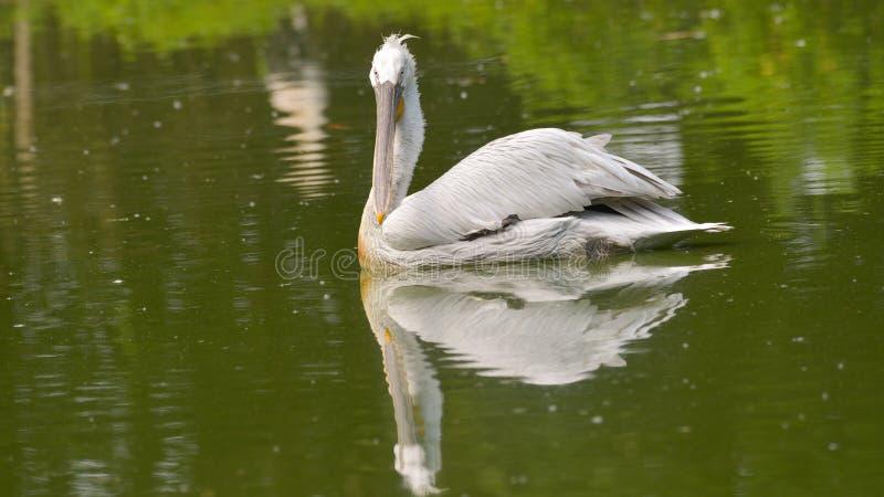 Weiblicher Pelikan, der im grünen Wasser schwimmt stockbild