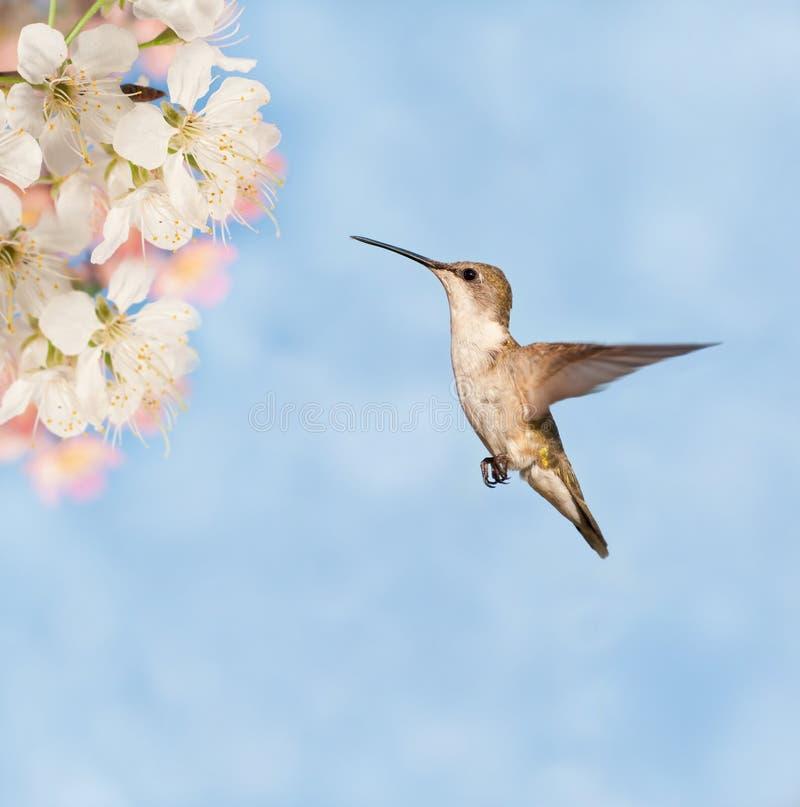Weiblicher Rubin-throated Kolibri stockbilder