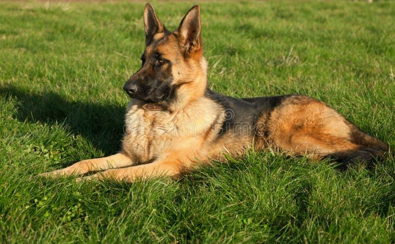 Weiblicher Schäferhund auf dem Gras stockbild
