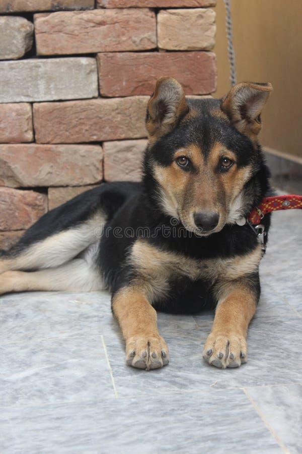 Weiblicher Schäferhund lizenzfreie stockfotografie