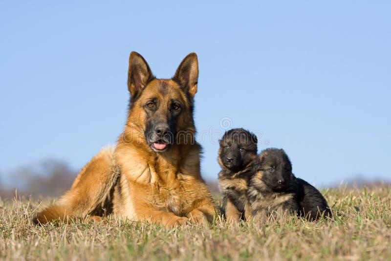 Weiblicher Schäferhundhund mit Welpen stockfotos