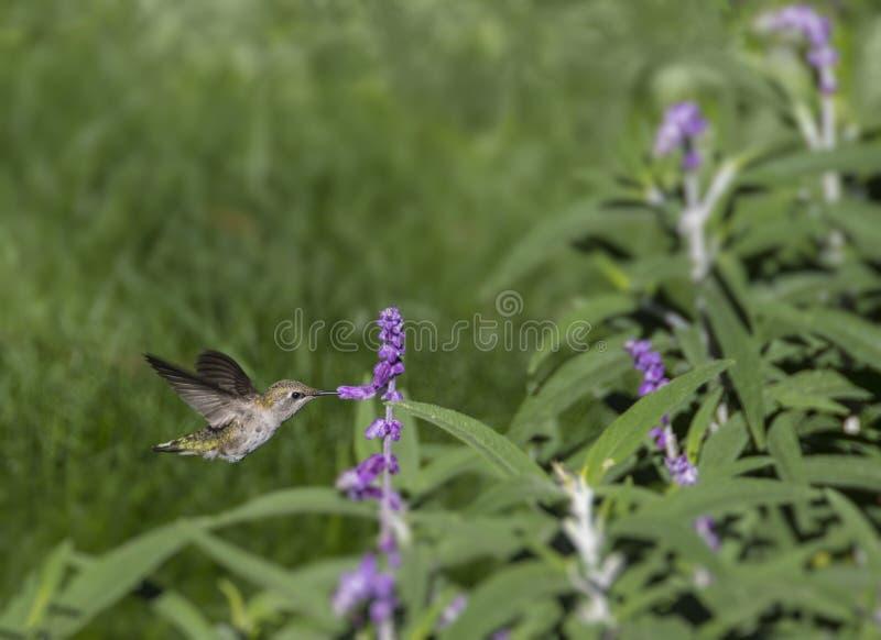 Weiblicher schwarz--Chinned Kolibri stockfotografie