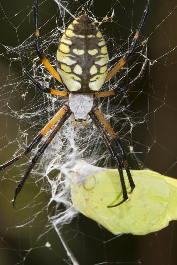 Weiblicher schwarz-und-gelber Argiope (Argiope aurantia) lizenzfreie stockbilder