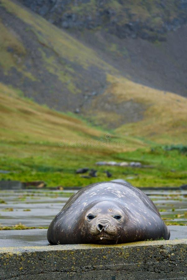 Weiblicher Seeelefant, der auf einer Zementauflage an der verlassenen Grytviken-Walfangstation auf Süd- Georgia-Insel, Süd-Atla lizenzfreie stockfotos