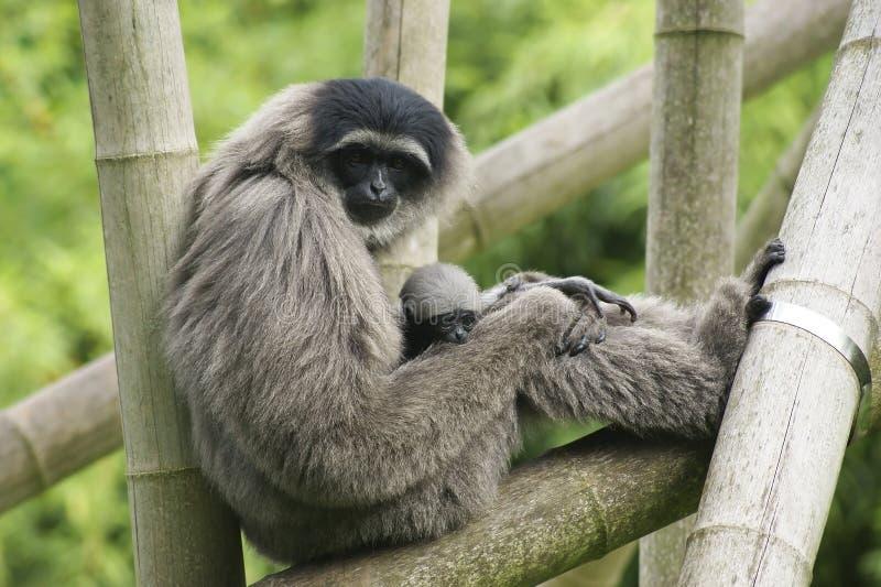Weiblicher silbriger Gibbon mit Jungem stockbilder