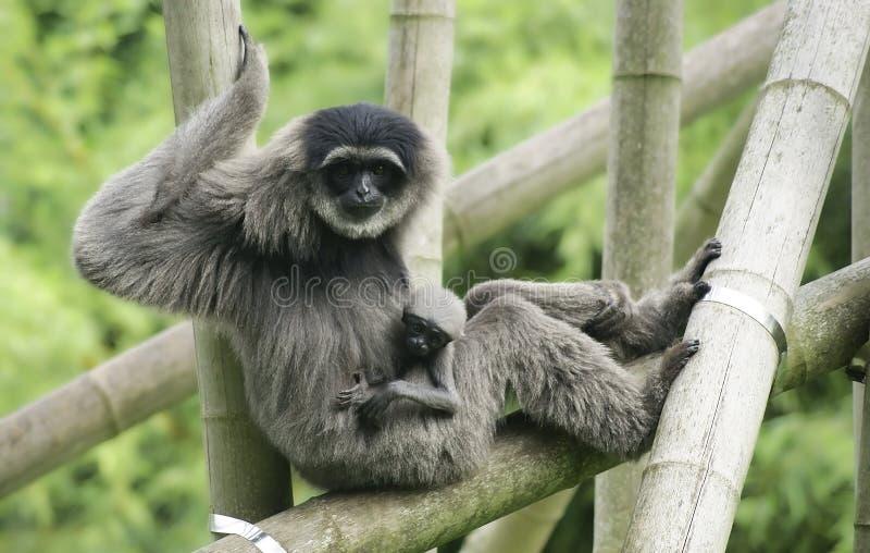 Weiblicher silbriger Gibbon mit Jungem lizenzfreie stockfotografie