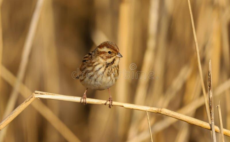 Weiblicher Sonnenschein Rohrammer Emberiza schoeniclus Vogels im Frühjahr stockbild