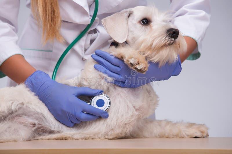 Weiblicher Tierarzt überprüft kleinen Hund mit lizenzfreies stockbild