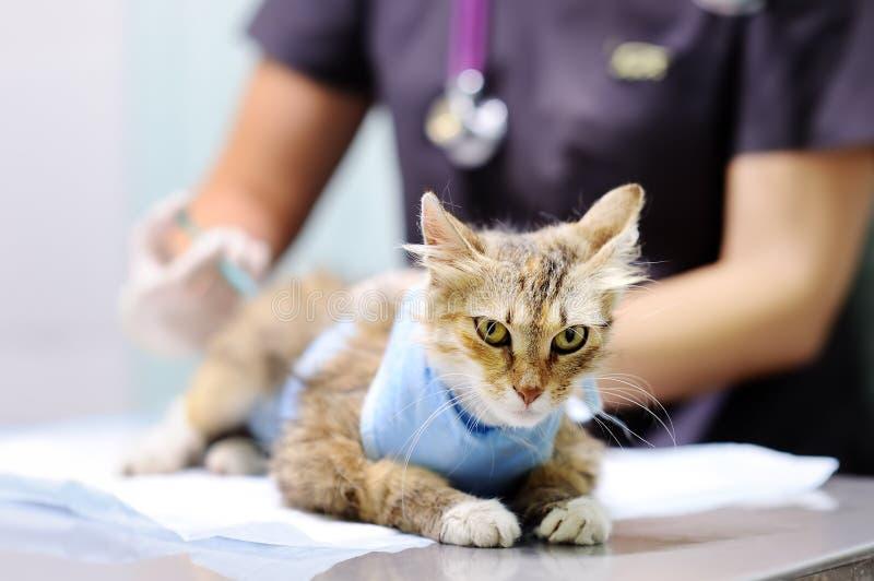 Weiblicher Veterinärdoktor, der Einspritzung für tragenden Verband der Katze nach Chirurgie gibt Fokus auf Spritze lizenzfreies stockbild