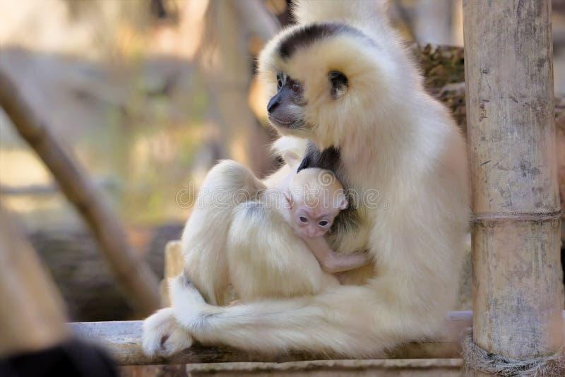 Weiblicher weiß--cheeked Nordgibbon, Nomascus-leucogenys mit Baby lizenzfreies stockfoto